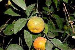 Mandarine, tangerina d'agrume souvent placé sous le deliciosa d'agrume photographie stock libre de droits