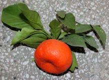 Mandarine, tangerina d'agrume souvent placé sous le deliciosa d'agrume images stock