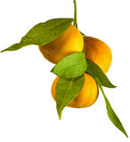 Mandarine tangerine orange branch Royalty Free Stock Photo