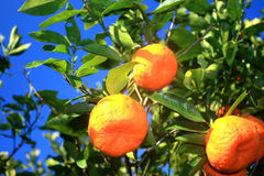 Mandarine tree Royalty Free Stock Photography