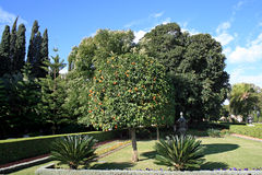 Mandarine tree in Bahai garden Stock Images