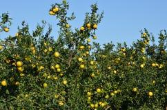Mandarine tree Stock Photography
