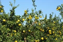 Mandarine tree Stock Images