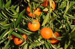 Mandarine tree Royalty Free Stock Photos