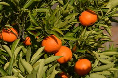 Mandarine tree Stock Photos