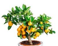 Mandarine tree isolated on white Royalty Free Stock Photo