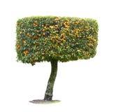 Mandarine tree isolated on white background. Decorative mandarine tree isolated on white background royalty free stock images