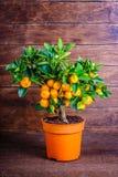Mandarine tree on a wooden. Background royalty free stock photos
