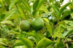 Mandarine verte non mûre, mandarine sur l'usine Images libres de droits