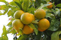 Mandarinen auf Baum Lizenzfreie Stockfotografie
