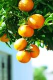 Mandarinen auf Zweig Lizenzfreies Stockfoto