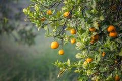 Mandarinen bär frukt på ett träd Royaltyfri Fotografi