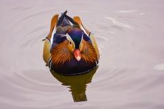 Mandarinen-Ente auf dem Wasser Stockbilder