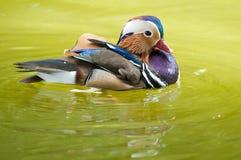 Mandarinen-Ente Drake stockfoto