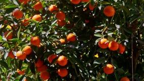 Mandarinen mit Sun-Helligkeit auf Seiten-Wind-Erschütterungs-Blättern stock video