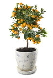 Mandarinenbaum Stockfoto