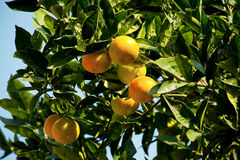 Mandarinenbaumorange Stockfotos