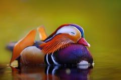 Mandarinenentenschwimmen und -ruhe auf dem Wasser Lizenzfreie Stockfotografie