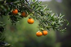 Mandarinenfrüchte auf einem Baum Hohe Abbildung der Auflösung 3D getrennt auf Weiß Frische Orange auf Anlage Lizenzfreies Stockfoto