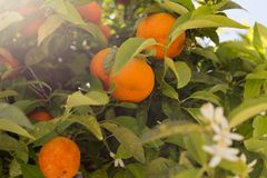 Mandarinenfrüchte und -blumen auf einem Baum, Hintergrund Stockfotos