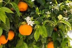 Mandarinenfrüchte und -blumen auf einem Baum, Hintergrund Lizenzfreies Stockfoto