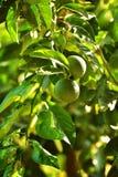 Mandarinenfruchtgrün Lizenzfreie Stockfotografie