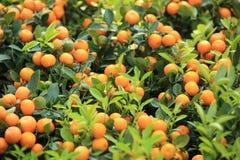 Mandariner Arkivfoto