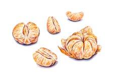Mandarines épluchées par aquarelle mûre Travail manuel Fruits tropicaux Nourriture saine Placez pour la conception Image libre de droits