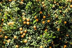 Mandarines Fotografia Stock
