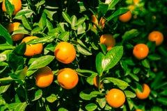 Mandarines Obraz Royalty Free