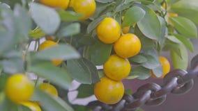 Mandarines amarillos del primer en las ramas listas por Año Nuevo de TET metrajes