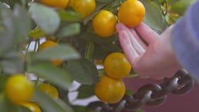 Mandarines amarillos macros entre las hojas listas por Año Nuevo de TET almacen de video