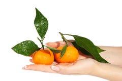 Mandarines avec les lames vertes dans les mains Photos stock