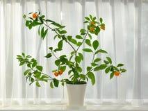 Mandarines boom met rijp fruit op vensterrichel Royalty-vrije Stock Afbeeldingen