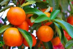 Mandarines chinoises Photos stock