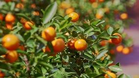Mandarines con el brillo de Sun en las hojas de las sacudidas del viento de lados almacen de video