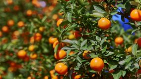 Mandarines con el brillo de Sun en las hojas de las sacudidas del viento de lados almacen de metraje de vídeo