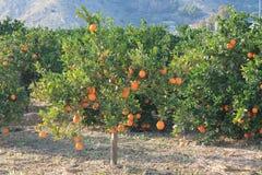 Mandarines de l'Espagne Images stock