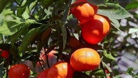 Mandarines del primer con el brillo de Sun en lados en hojas almacen de video