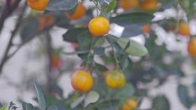 Mandarines del primer en el árbol listo por Año Nuevo vietnamita metrajes