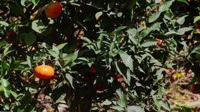 Mandarines en árbol del top al tronco en pote en el pavimento almacen de metraje de vídeo