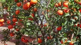 Mandarines en árbol del top al tronco en pote en la tierra almacen de video