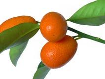Mandarines en la ramificación Imágenes de archivo libres de regalías