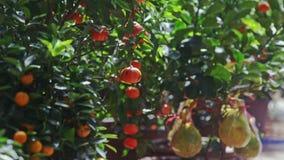 Mandarines en las hojas de las sacudidas del viento de las ramas en la luz del sol almacen de video