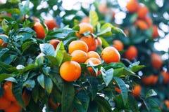 Mandarines en rama Fotografía de archivo libre de regalías