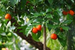 Mandarines et oranges à l'arrière-plan de nature d'arbre Image stock