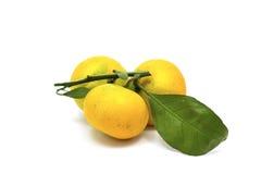 Mandarines mûres avec les feuilles vertes sur la branche Photographie stock libre de droits