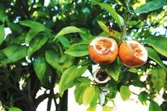 Mandarines mangées par des oiseaux sur un arbre Photographie stock libre de droits