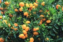 Mandarines oranges mûres sur l'arbre Images stock