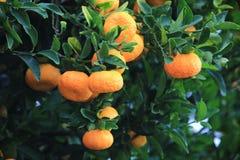 Mandarines oranges mûres sur l'arbre Photo stock